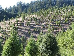 Santa Cruz Christmas Tree Farms by The History Of The Christmas Tree Farm And Where To Find The