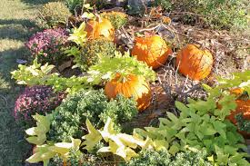 Keep Pumpkins From Rotting On Vine by Miss Kopy Kat Fake A Front Yard Pumpkin Patch