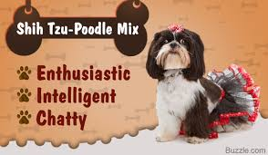 Lhasa Apso Poodle Mix Shedding by Things You Need To Know Before Getting A Shih Tzu Poodle Mix