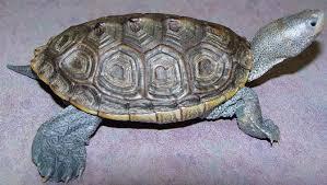 general care of aquatic turtles chicago exotics animal hospital