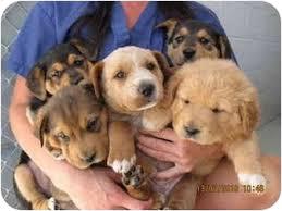 Do Shar Peis Shed A Lot by Sharp Eagle Shar Pei X Beagle Mix Info Temperament Puppies