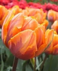 tulppaani princess irene tulips daffodils