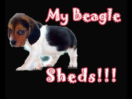 gotten beagle shedding hair all over your house lately watch this