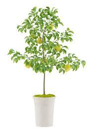 lemon tree care ideas for the house