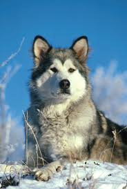 do huskies or malamutes shed more alaskan malamute breed information pictures characteristics