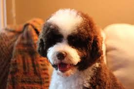 Portuguese Water Dog Shedding Problems by Five Hypoallergenic Dog Breeds Great With Kids Pethelpful