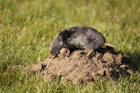 Pests Of The Month: Moles And Voles - Farmers' Almanac How To Get Rid Of Moles Organic Gardening Blog Cat Captures Mole In My Neighbors Backyard Youtube Animal Wikipedia Identify And In The Garden Or Yard Daily Home Renovation Tips Vs The Part 1 Damaging Our Lawn When Are Most Active Dec 2017 Uerstanding Their Behavior Mole Gassing Pests Get Correct Remedy Liftyles Sonic Molechaser Alinum Covers 11250 Sq Ft Model 7900
