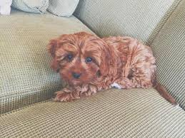 Do Hypoallergenic Dogs Shed As Puppies does a cavapoo shed