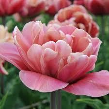 la epoque late tulip bulbs buy tulip bulbs on