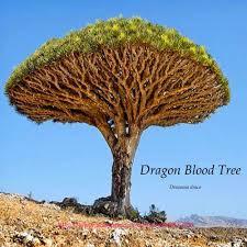 Christmas Tree Saplings Ireland by Online Buy Wholesale Dracaena Tree From China Dracaena Tree
