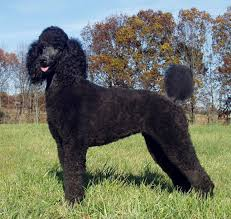 Miniature Dog Breeds That Dont Shed by 30 Non Moulting Dogs Best Hypoallergenic Breeds That Don U0027t Shed