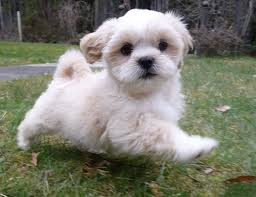 My Lhasa Apso Is Shedding Hair by Lhasa Apso Dog Breeders 89 The Dog Wallpaper Best The Dog