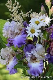 buy iris bulbs iris varieties bearded iris summer sale 2017