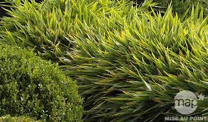 bambous nains variétés et utilisations jardinerie truffaut