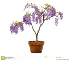 planting wisteria in a pot wisteria in a pot stock image image of terracotta blossom 7328915