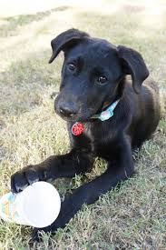 Big Lazy Non Shedding Dogs by Borador Border Collie Lab Mix Info Puppies Temperament Pictures