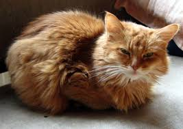 haired cat top 30 cat breeds pethelpful