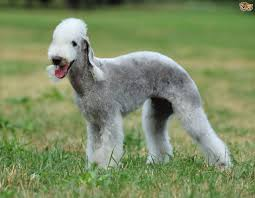 Non Shedding Husky Cross by Bedlington Terrier Dog Breed Information Buying Advice Photos
