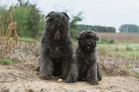 Dog Breeds That Dont Shed by 25 Dogs That Don U0027t Shed Non Shedding Dogs Small Large Medium