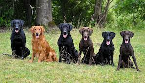 saved by dogs golden retriever really a better breed than the