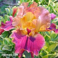 99 best fashion bearded irises and other heirloom flowers
