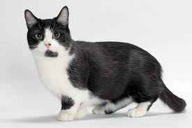 munchkins cats 11 things to about the munchkin cat catster