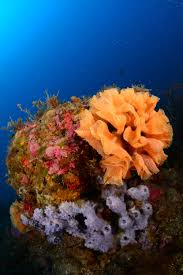Decorator Crab Tank Mates by Orange Sponge On Coral Reef Marine Beauty Coral Reefs Sea