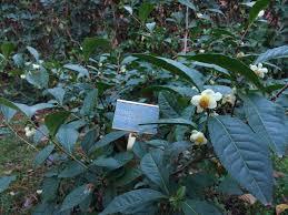 Camellia Sinensis in the botanical garden of Naples Italy tea