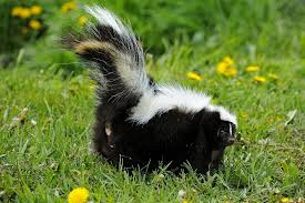 Get Rid Of Skunk Odor: What Really Works How To Get Rid Of Skunks From Under A Shed Youtube Rabbits Identify And Rid Garden Pest Of And Prevent Infestation With Professional Skunk In Backyard Outdoor Goods To Your Yard Quick Ideas Image Beasts Diggings Droppings Moles Telegraph Mole Removal Skunk Control Treatments Repellent For The Home Yard Garden Odor What Really Works Pics On Extraordinary Affordable Wildlife Control Toronto Raccoon Squirrel Awesome A Wliinc