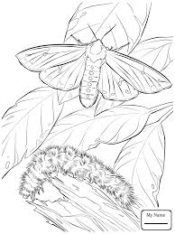 Butterfly Life Cycle Coloring Page Caterpillar