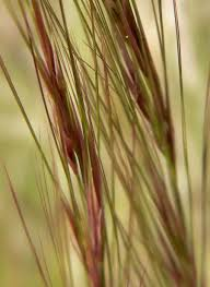 Aristida Purpurea - Wikipedia Lola The Grass Awn Youtube Canada Wild Rye The Project Bobs Blog Animal Hospital Of Rowlett Awns Making An Summer Danger Lurking In Yo Venice Dangers Foxtails To Dogs Cats Specialty Group Free Images Branch Field Sunlight Crop Ear Agriculture Porcupine Hesperostipa Spartea Ramblings A Seed Picker Field Biology Southeastern Ohio Grasses Part 2 Explore Barley Todays Homepage Filespear Heteropogon Contortus Tertwined Awns A Key Common Hawaii Page 6 Diase World Wheat