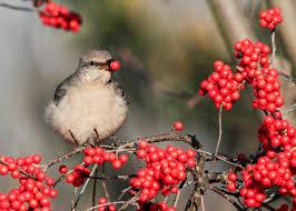 Winterberry Christmas Tree by Christmas Bird Count Audubon Connecticut