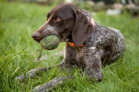 Griffon German Wirehaired Pointer Shedding by The German Wirehaired Pointer Highly Energetic With Lots Of Stamina