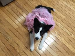 Tj Maxx Halloween by Maisie In Her Puppy Halloween Costume From T J Maxx Mommies