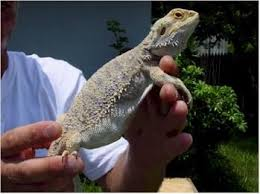 Bearded Dragon Heat Lamp Went Out by 291 Best Bearded Dragons Images On Pinterest Bearded Dragon Care