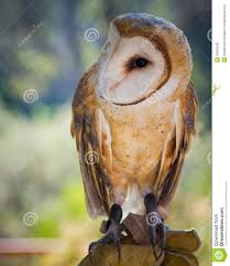Common Barn Owl Royalty Free Stock Images - Image: 23603549 Common Barn Owl 4 Mounths In Front Of A White Background Stock Royalty Free Images Image 23603549 Known Photo 552016159 Shutterstock Owl Wikipedia 644550523 Mdc Discover Nature Tyto Alba Perched On A Falconers Arm At Daun Audubon Field Guide Mounths Lifeonwhite 10867839 Barnowl 1861 Best Owls Snowy Saw Whets Images Pinterest Photos Dreamstime