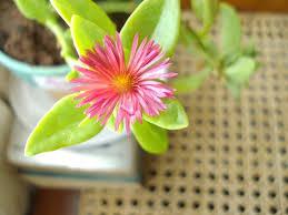 zimmerpflanzen mit blumen zum dekorieren kaktus dinner
