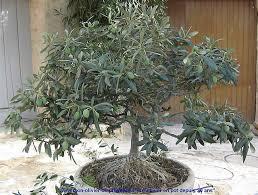 pot bonsai grande taille la culture de l olivier de provence en pot mon olivier de provence