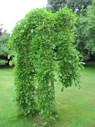 What Is A Weeping Mulberry Learn About Tree Care