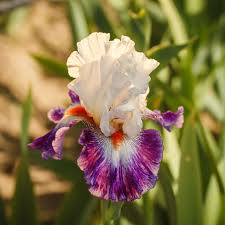 bearded iris bulbs for sale easy to grow bulbs