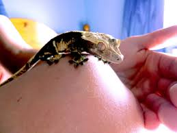 Baby Halloween Crested Gecko by Crested Gecko Thread Reptile Forums