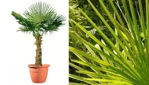 palmier de chine en pot 225 250 cm de haut vente privée bourges