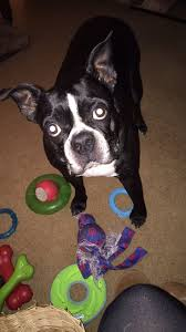 Beantown Bed And Biscuit by 19 Best Boston Terriers Rock Images On Pinterest Boston Terriers