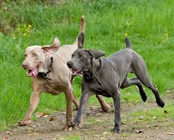 Do Long Haired Weimaraners Shed by Genetic Study Of Blue Weimaraners Blue Weimaraner Today