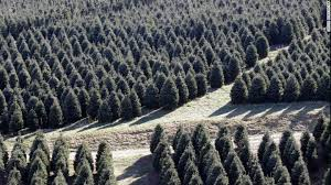 Fraser Fir Christmas Trees Are Seen Standing And Ready For Cutting At Maines Tree Farm In