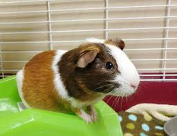 Can Guinea Pigs Eat Pumpkin Seeds by What Do Chickens Eat