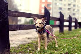 Short Haired Dogs That Shed The Most by Mutt Dog Breed Information Pictures Characteristics U0026 Facts