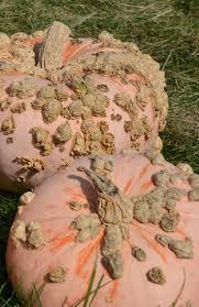 Northeast Iowa Pumpkin Patches by 11 Best Pumpkins Images On Pinterest Pumpkins Gourds And