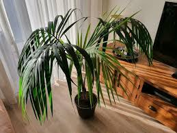 kentia palme höhe ca 1 meter