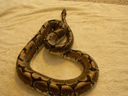 Ball Python Bedding by Breeder Ball Pythons And Baby Female Spider Ball Python Fs